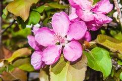 Apple fleurissent la couleur rose Image stock