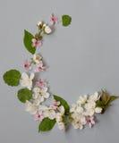 Apple fleurissent la guirlande de fleur au-dessus du fond bleu gris Image libre de droits