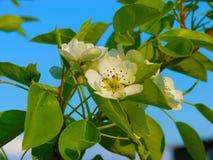 Apple fleurissent le domestica à la maison de malus Photographie stock
