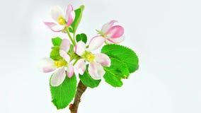 Apple fleurissent sur 4k blanc banque de vidéos