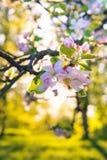 Apple fleurissent sur un pommier dans un jardin domestique avec le soleil brillant derrière Photo stock
