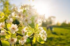 Apple fleurissent sur un pommier dans un jardin domestique avec le soleil brillant derrière Photo libre de droits