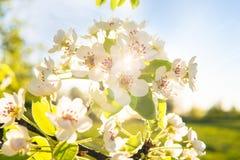 Apple fleurissent sur un pommier dans un jardin domestique avec le soleil brillant derrière Images libres de droits