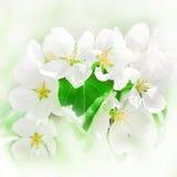 Apple fleurit au printemps images libres de droits