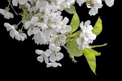 Apple fleurit sur le fond noir - fleurs de floraison colorées de ressort des buissons et des arbres Photos libres de droits