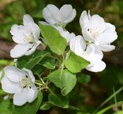 Apple-flor Foto de archivo libre de regalías