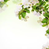 Apple floral background Royalty Free Stock Photos