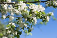 Apple florece árbol en fondo verde Foto de archivo