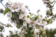 Apple florece árbol manosea la flor de la abeja de la miel que recoge makro del primer del polen Fotografía de archivo libre de regalías