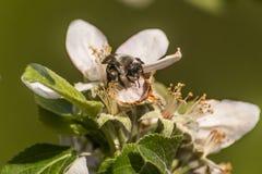 Apple florece árbol manosea la flor de la abeja de la miel que recoge makro del primer del polen Foto de archivo libre de regalías