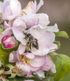 Apple florece árbol manosea la flor de la abeja de la miel que recoge makro del primer del polen Fotos de archivo libres de regalías