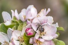 Apple florece árbol manosea la flor de la abeja de la miel que recoge makro del primer del polen Foto de archivo