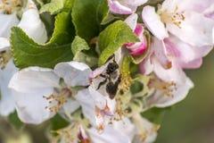 Apple florece árbol manosea la flor de la abeja de la miel que recoge makro del primer del polen Fotografía de archivo