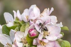Apple florece árbol manosea la flor de la abeja de la miel que recoge makro del primer del polen Imagen de archivo