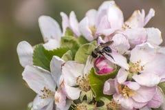 Apple florece árbol manosea la flor de la abeja de la miel que recoge makro del primer del polen Fotos de archivo