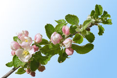 Apple florece Imagen de archivo libre de regalías