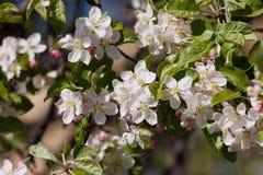 ¡Apple florece! Foto de archivo