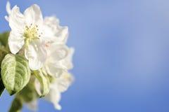 Apple florece Fotografía de archivo