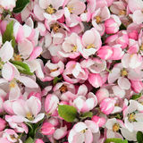 Apple florece belleza Imagen de archivo