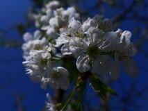 Apple florece - blanco Fotos de archivo libres de regalías