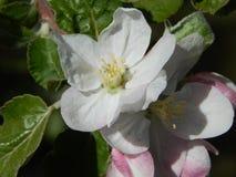 Apple florece blanco Foto de archivo libre de regalías