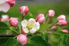 Apple florece el detalle Fotos de archivo