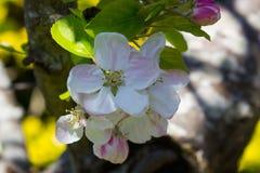 Apple florece, el favorito perenne de la primavera, adquirido una tarde hermosa de la primavera en condado abajo en Irlanda del N Foto de archivo libre de regalías