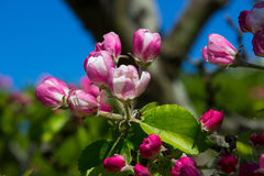 Apple florece, el favorito perenne de la primavera, adquirido una tarde hermosa de la primavera en condado abajo en Irlanda del N Fotos de archivo libres de regalías