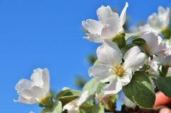 Apple florece en el fondo de un cielo Imagen de archivo