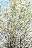 Apple florece en el sol Imagenes de archivo