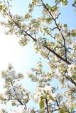 Apple florece en el sol Fotografía de archivo
