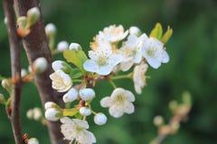 Apple florece en Galicia, España Imagenes de archivo