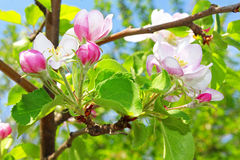 Apple florece en la primavera Imágenes de archivo libres de regalías