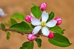 Apple florece en la primavera Fotografía de archivo