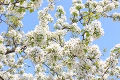 Apple florece en mayo Fotografía de archivo libre de regalías