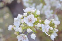 Apple florece en primavera Fotografía de archivo libre de regalías
