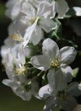 Apple florece en primavera fotos de archivo