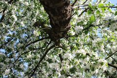 Apple florece en primavera imagenes de archivo