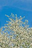 Apple florece en ramas de la manzana con las hojas verdes con el cielo azul en fondo Fotos de archivo