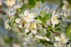 Apple florece en ramas de la manzana con las hojas y la abeja verdes de la miel en la flor Imagenes de archivo