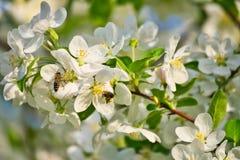 Apple florece en ramas de la manzana con las hojas y la abeja verdes de la miel en la flor Foto de archivo libre de regalías