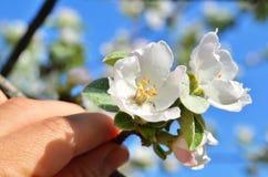 Apple florece en una mano del ` s del hombre Imágenes de archivo libres de regalías
