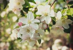 Apple florece inflorescencia Imágenes de archivo libres de regalías