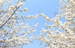 Apple florece las ramas contra el cielo Fotografía de archivo libre de regalías