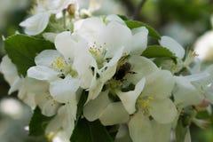 Apple florece y abeja que recoge el néctar Fotos de archivo libres de regalías