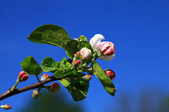 Apple floresce. Foto de Stock Royalty Free