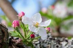 Apple floresce Imagem de Stock Royalty Free