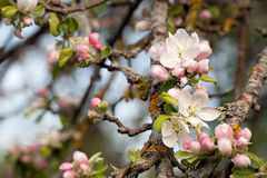 Apple floresce. Fotos de Stock Royalty Free