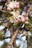 Apple floresce. foto de stock royalty free