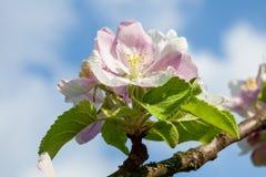 Apple floresce Foto de Stock